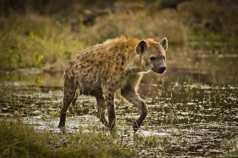 Image 1 - hyena at Mombo