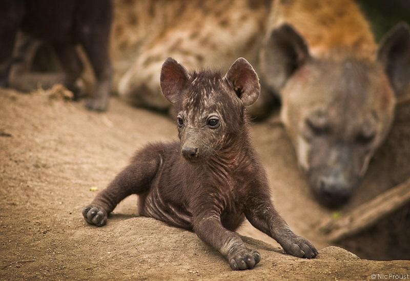 Image 2 - hyena pup