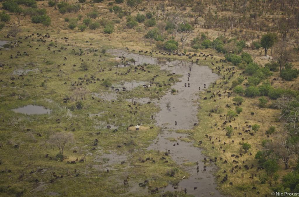 Aerial Buffalo Herd