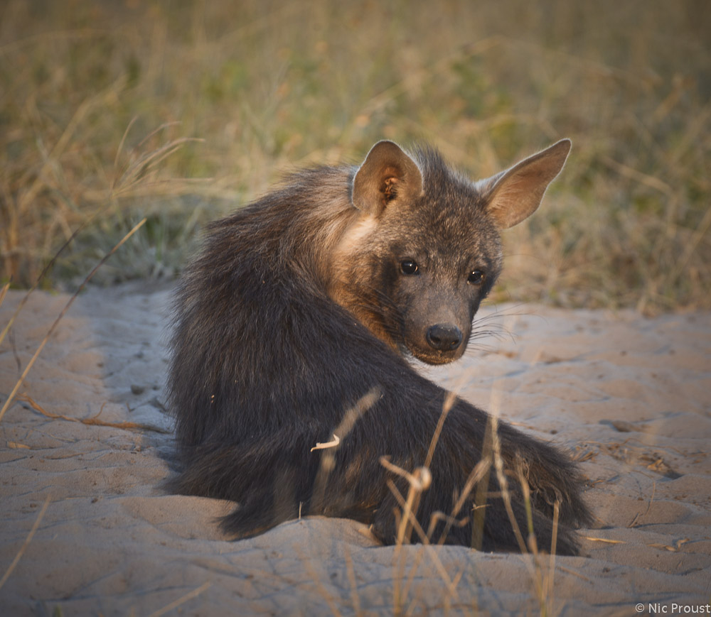 Brown Hyena (2)