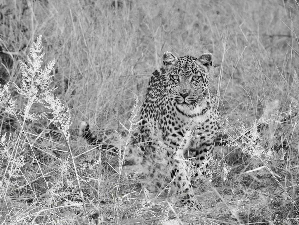 Leopard Charge