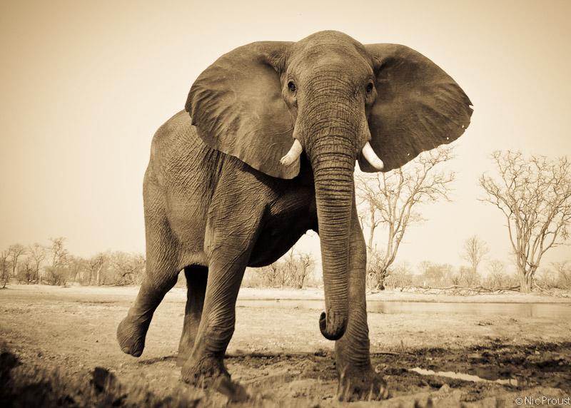 Elephant Sunken Hide
