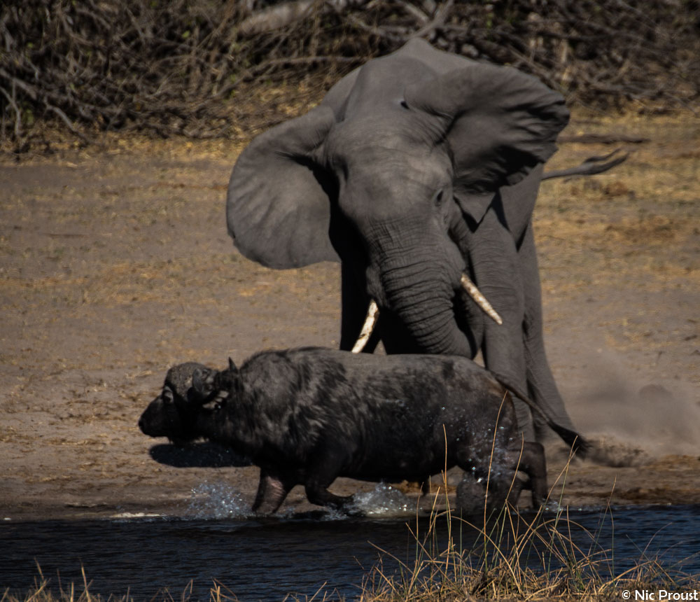 Elephant vs Buffalo