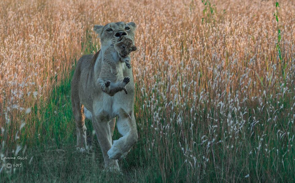 LTC lioness and cubs