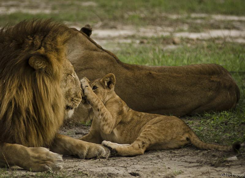 Lion Cub-2