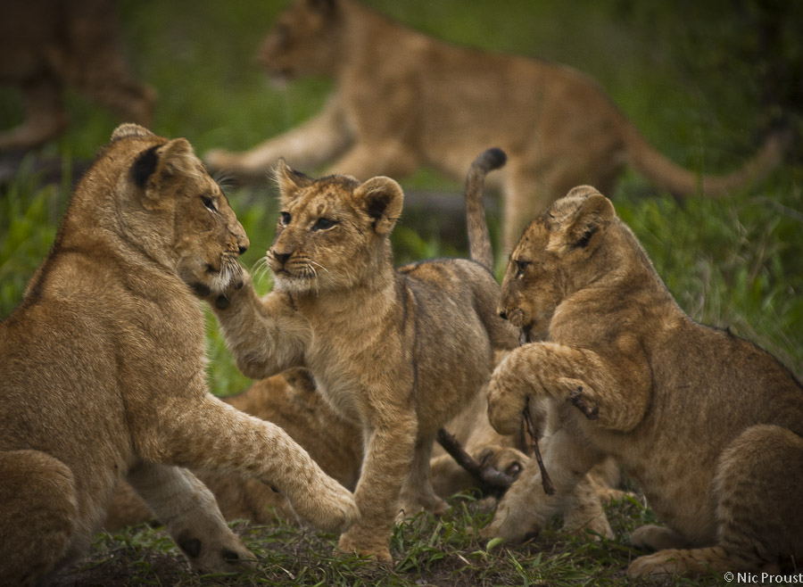 Lion Pride-2
