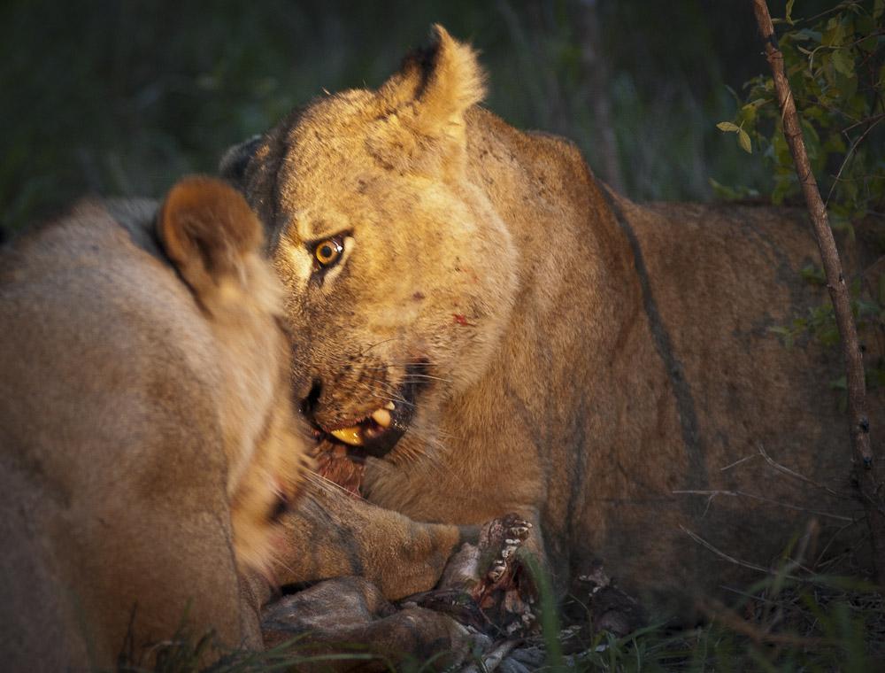 Lions on giraffe-2