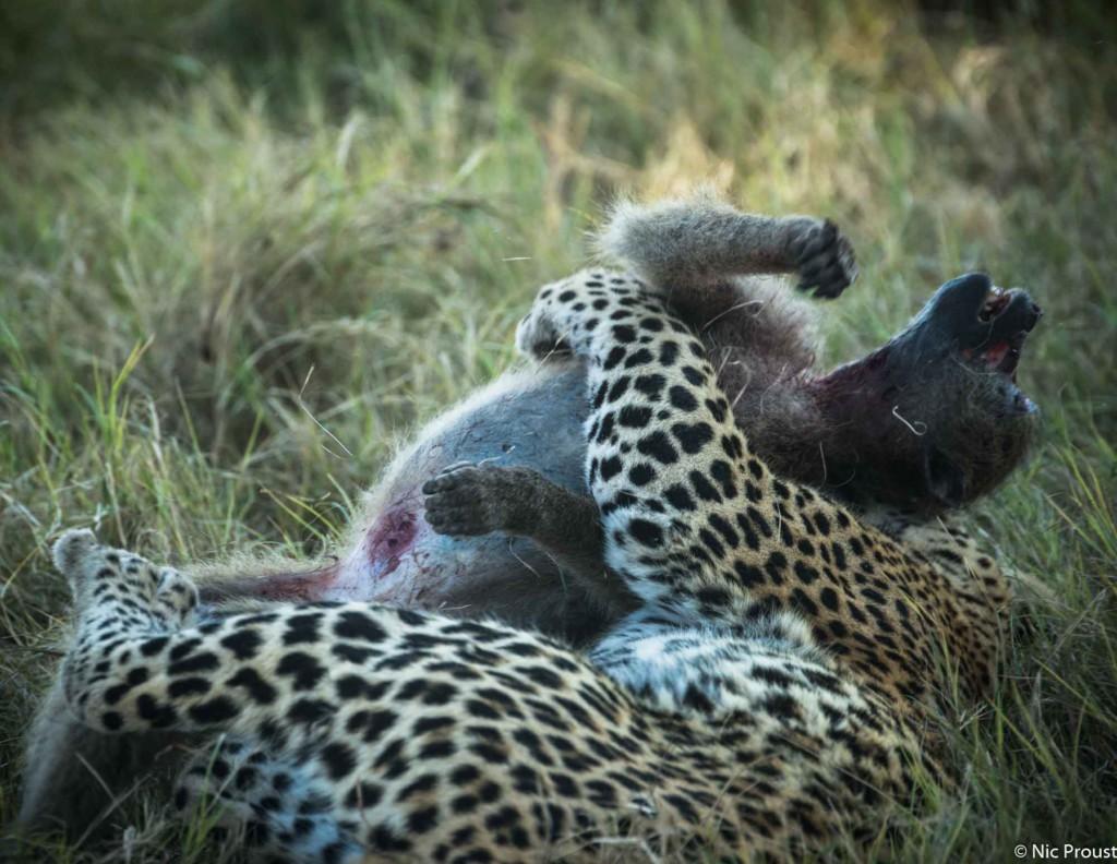 leopard vs baboon-4