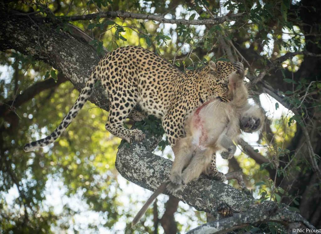 leopard vs baboon-6