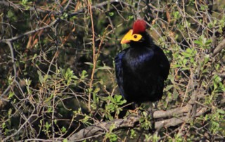Rosss Turaco-2