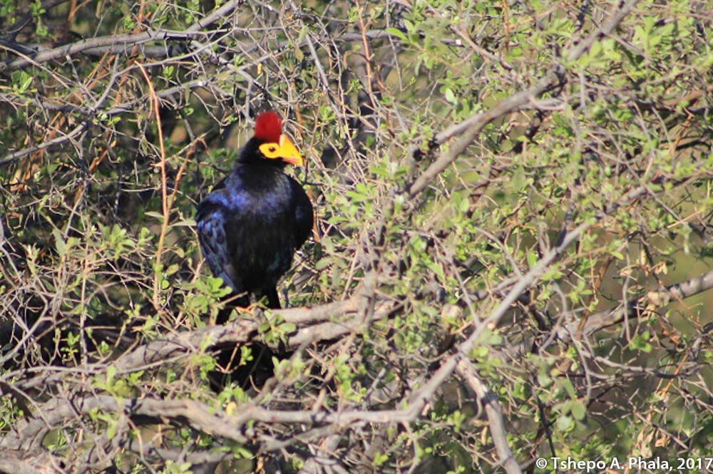 Rosss Turaco-3
