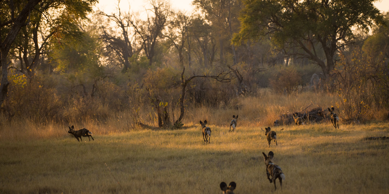 A Khwai Wild Dog fight to remember!