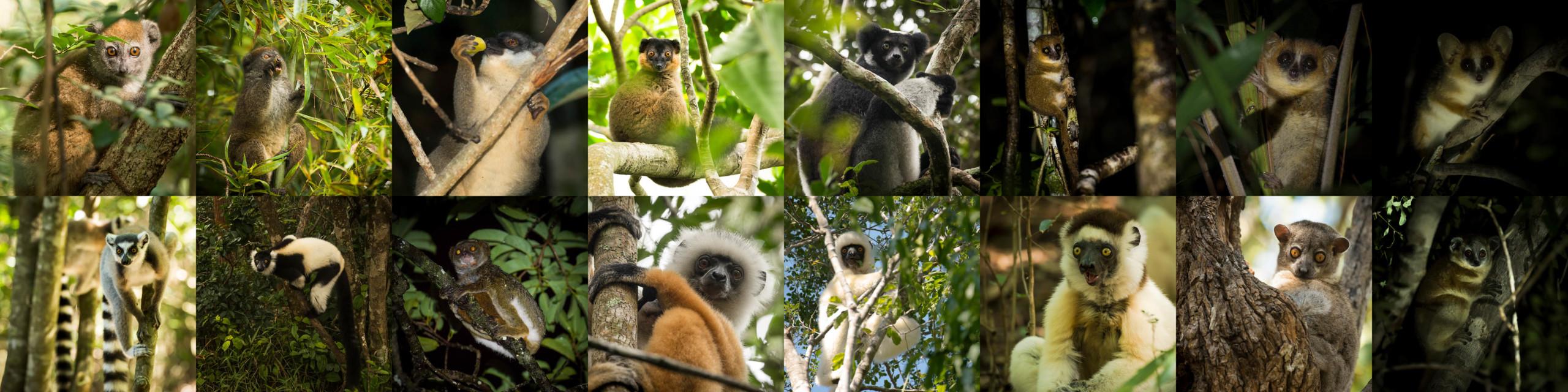 World Lemur Day!